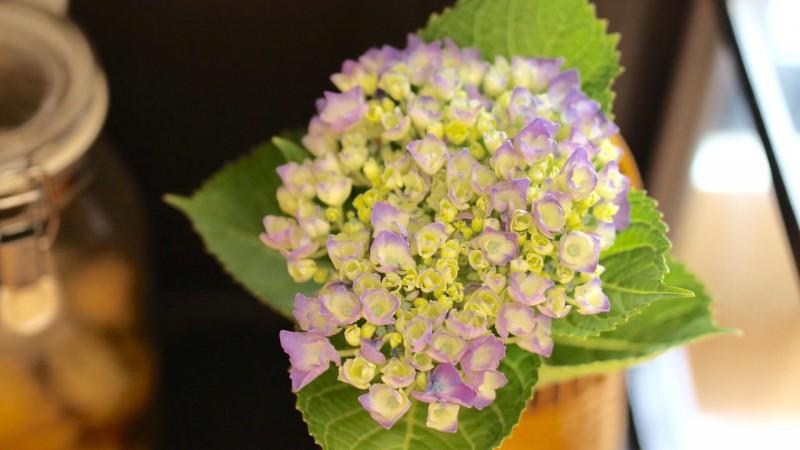 紫陽花と梅